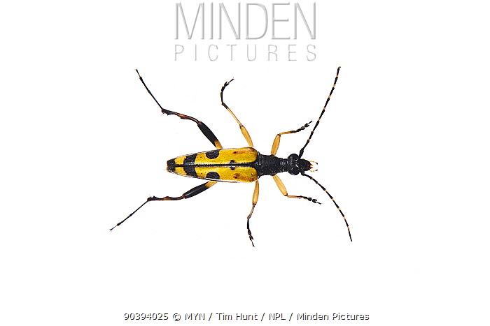 Spotted longhorn beetle (Rutpela maculata) Barnt Green, Worcestershire, UK, August Meetyourneighboursnet project  -  MYN/ Tim Hunt/ npl