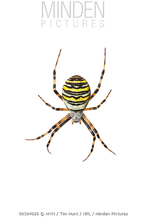 Wasp spider (Argiope bruennichi) Barnt Green, Worcestershire, UK, September Meetyourneighboursnet project  -  MYN/ Tim Hunt/ npl