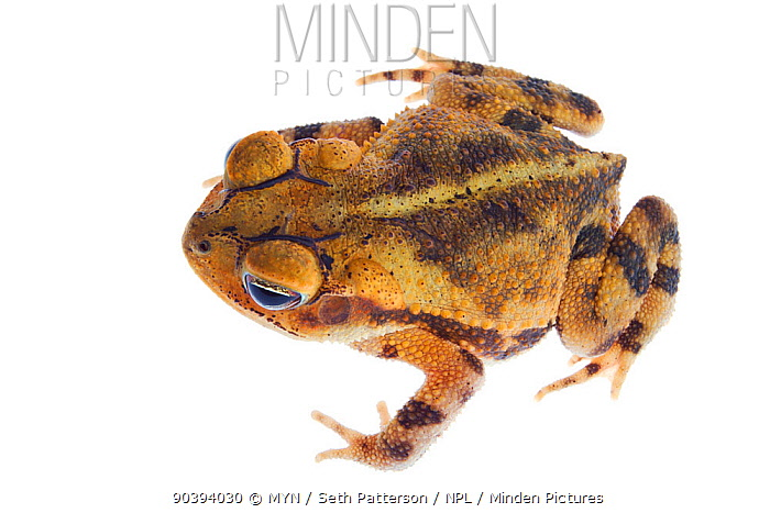Gulf Coast Toad (Incilius nebulifer) viewed from above, Sabal Palm Sanctuary, Cameron County, Lower Rio Grande Valley, Texas, United States of America, North America, September Meetyourneighboursnet project  -  MYN/ Seth Patterson/ npl