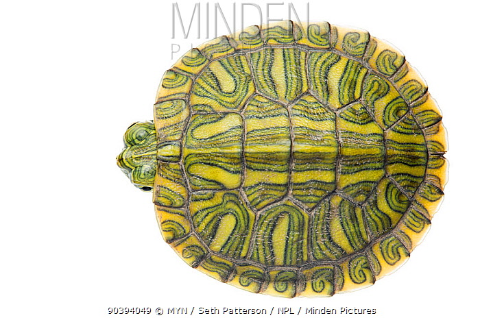 Red-eared Slider (Trachemys scripta elegans) juvenile viewed from above, Sabal Palm Sanctuary, Cameron County, Lower Rio Grande Valley, Texas, United States of America, North America, September Meetyourneighboursnet project  -  MYN/ Seth Patterson/ npl