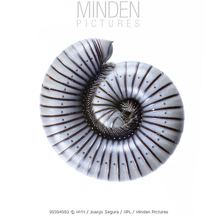 Millipede (Ommatoiulus rutilans) Muchamiel, Alicante, Spain, November Meetyourneighboursnet project  -  MYN/ Juanjo Segura/ npl