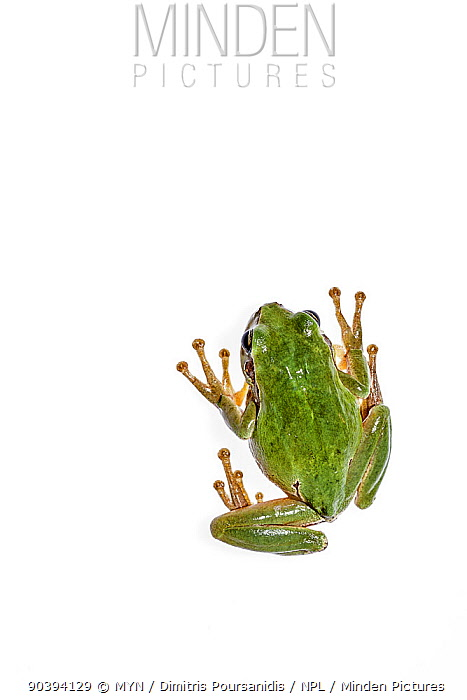 European tree frog (Hyla arborea) Crete, Greece, August Meetyourneighboursnet project  -  MYN/ Dimitris Poursanidis/ npl