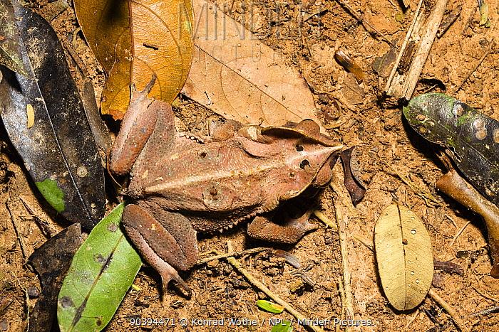 Leaf Litter Toad (Rhinella margaritifera) on rainforest floor, at Tambopata river,Tambopata National Reserve, Peru, South America  -  Konrad Wothe/ NPL