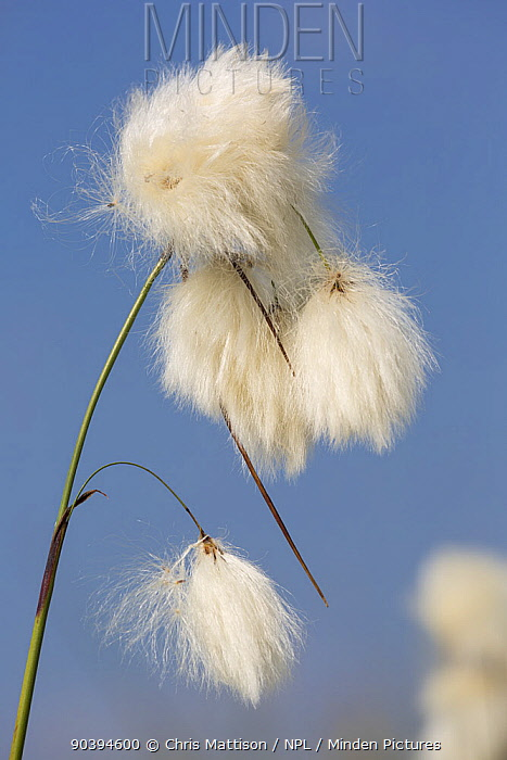 Cotton grass (Eriophorum angustifolium) seed heads Hallam Moor, near Sheffield, England, UK, July  -  Chris Mattison/ npl