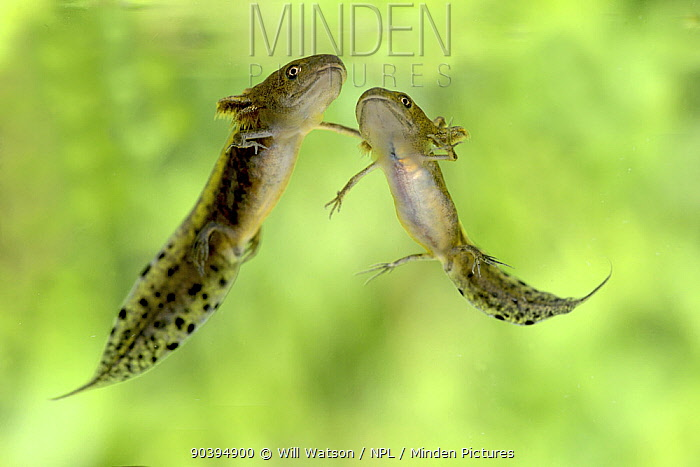 Two Great Crested Newt (Triturus cristatus) tadpoles, mid development, captive, Herefordshire, England, August  -  Will Watson/ npl