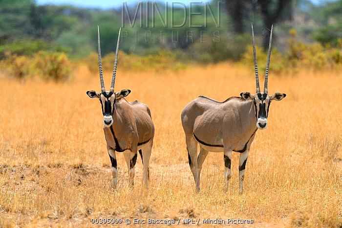 Beisa oryx (Oryx beisa), Samburu National Reserve, Kenya, Africa  -  Eric Baccega/ npl