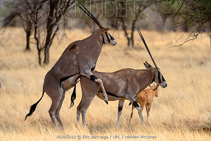Minden Pictures Stock Photos Beisa Oryx Oryx Beisa Mating