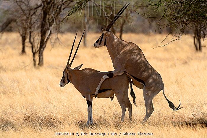 Beisa oryxes (Oryx beisa) mating, Samburu National Reserve, Kenya, Africa  -  Eric Baccega/ npl