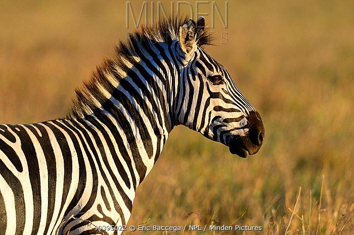 Grants zebra (Equus quagga boehmi), Masai Mara National Reserve, Kenya, Africa  -  Eric Baccega/ npl