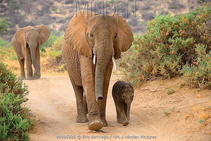 African elephant (Loxodonta africana) female and calf aged around two months walking, Samburu National Reserve, Kenya, Africa  -  Eric Baccega/ npl