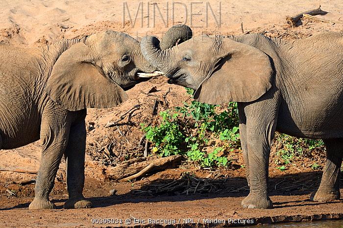 African elephants (Loxodonta africana) play fighting, Samburu National Reserve, Kenya, Africa  -  Eric Baccega/ npl