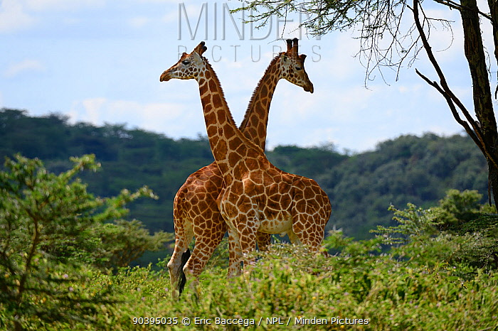 Rotschilds giraffe (Giraffa camelopardalis rothschild) two males play fighting, Nakuru National Park, Kenya, Africa  -  Eric Baccega/ npl