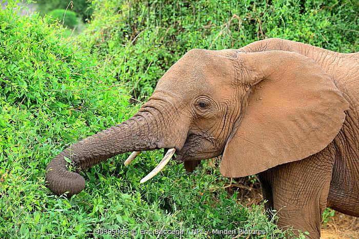 African elephant (Loxodonta africana) feeding from bush, Samburu National Reserve, Kenya, Africa  -  Eric Baccega/ npl