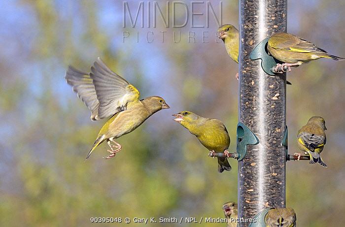 Greenfinches (Carduelis chloris) squabbling at a birdfeeder, Norfolk, England, UK, December  -  Gary K. Smith/ npl