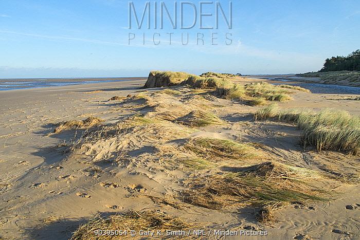 Sand dunes covered in Marram grass (Ammophila arenaria) damaged by the 6 December east coast tidal surge, Holkham beach, Norfolk, England, UK, December 2013  -  Gary K. Smith/ npl