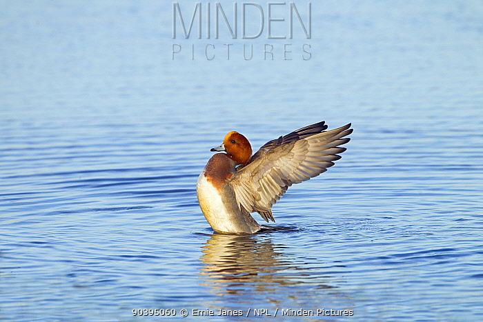 Male Wigeon (Anas penelope) stretching its wings, Norfolk, England, UK, November  -  Ernie Janes/ npl