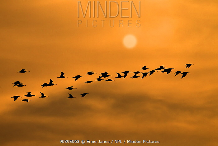 Flock of Curlews (Numenius arquata) in flight at sunset, Norfolk, England, UK, November Digital composite (sun added digitally)  -  Ernie Janes/ npl