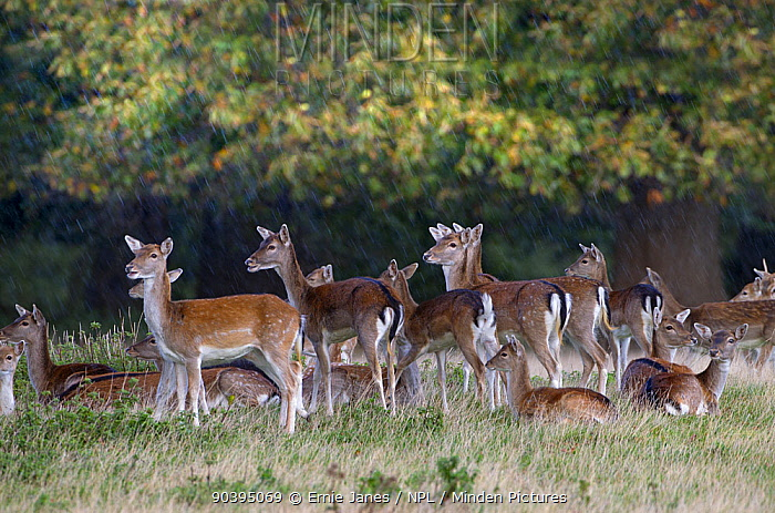 Fallow deer (Dama dama) herd, Holkham, Norfolk, England, UK, October  -  Ernie Janes/ npl