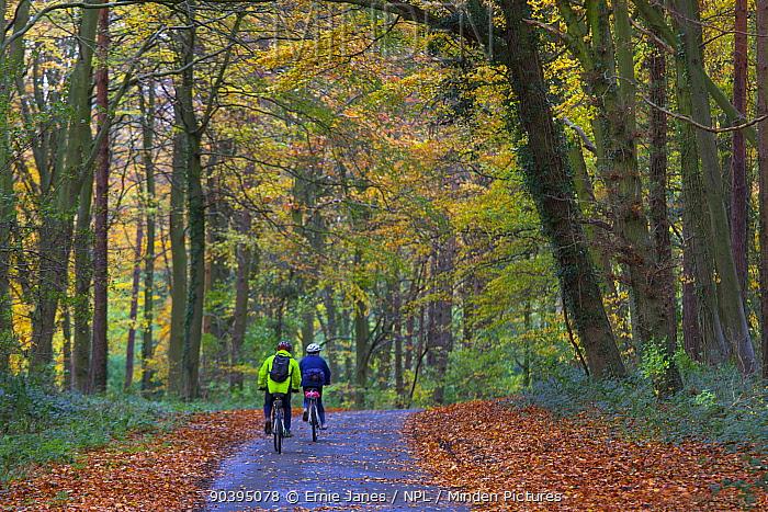Two people cycling along a lane through autumnal woodland, Holkham, Norfolk, England, UK, November  -  Ernie Janes/ npl