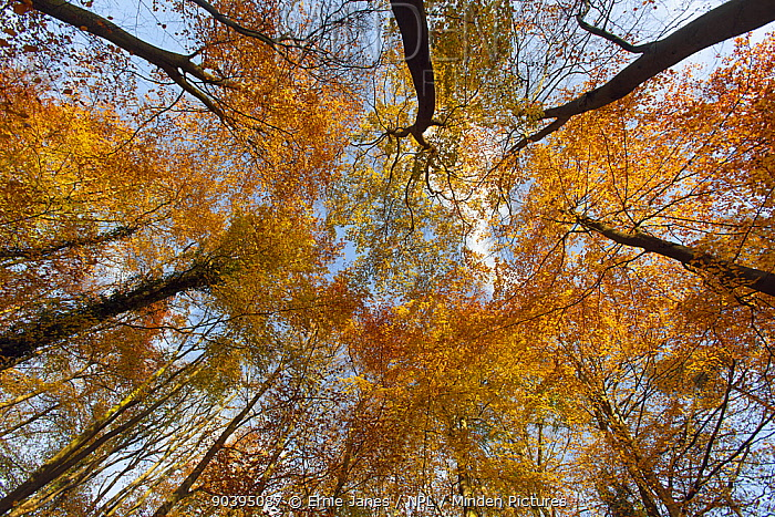 Low angle shot up into Beech tree canopy in Autumn, Holkham, Norfolk  -  Ernie Janes/ npl