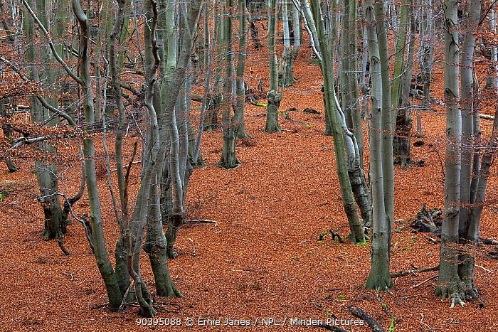 Common beech trees (Fagus sylvatica), Epping Forest, Essex, England, UK, December  -  Ernie Janes/ npl