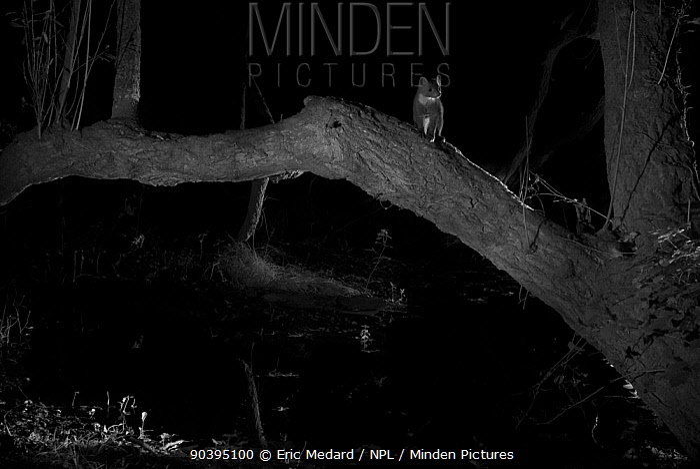 Pine marten (Martes martes) in garden at night, taken with infra red remote camera trap, Mayenne, Pays de Loire, France, August  -  Eric Medard/ npl