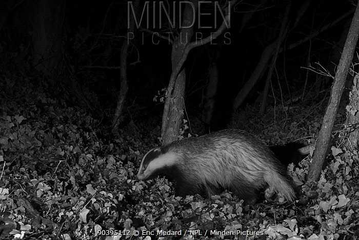 Badger (Meles meles) at night, infra red remote camera trap photo, Mayenne, Pays de la Loire, France, January  -  Eric Medard/ npl