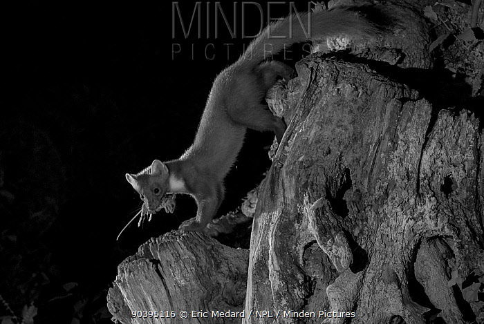 Pine marten (Martes martes) with mouse prey in garden, taken at night with infra red remote camera trap, Mayenne, Pays de Loire, France, July  -  Eric Medard/ npl