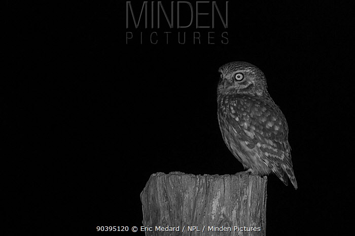 Little owl (Athene noctua) on post in garden, taken at night with infra red remote camera trap, Mayenne, Pays de Loire, France, March  -  Eric Medard/ npl