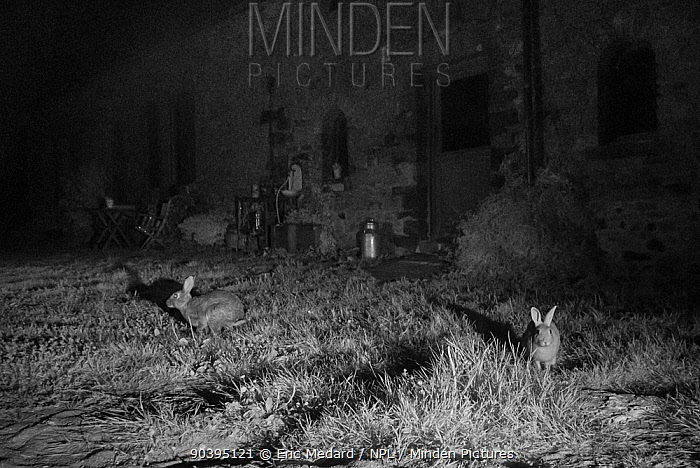 Rabbits (Oryctolagus cuniculus) in garden, taken at night with infra red remote camera trap, Mayenne, Pays de Loire, France  -  Eric Medard/ npl