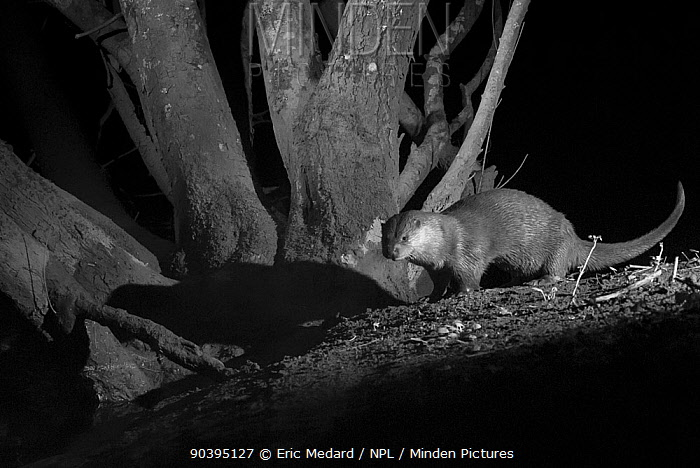 Otter (Lutra lutra) on river bank, taken at night with infra red remote camera trap, Mayenne, Pays de Loire, France, March  -  Eric Medard/ npl