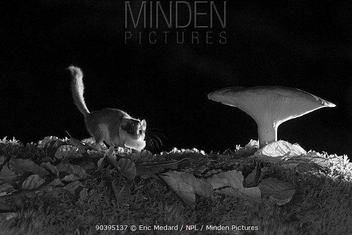 Forest dormouse (Dryomys nitedula) carrying bait (pear) next to mushroom, at night, taken with infra red remote camera trap, Slovenia, October  -  Eric Medard/ npl