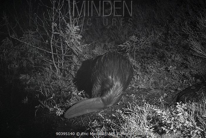 Beaver (Castor fiber) rear view, at night taken with infra red remote camera trap, Sweden, May  -  Eric Medard/ npl