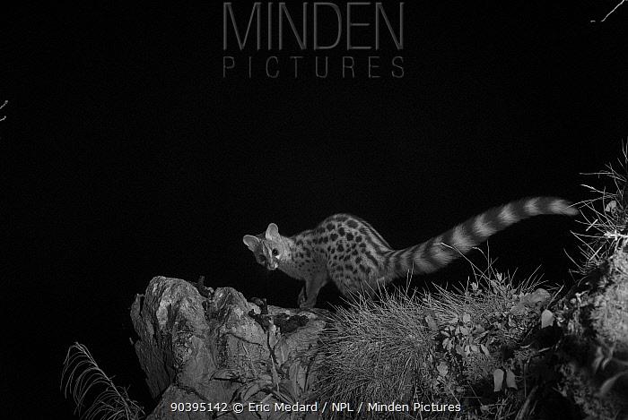 European genet (Genetta genetta) taken at night with infra red remote camera trap, Ariege, France, May  -  Eric Medard/ npl