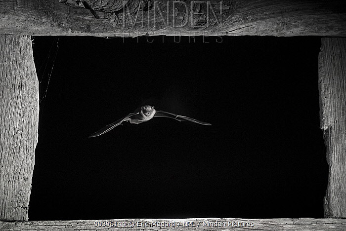 Pipistrelle bat (Pipistrellus pipistrellus) flying through window, taken at night with infra-red remote camera trap, Mayenne, Pays de Loire, France, August  -  Eric Medard/ npl