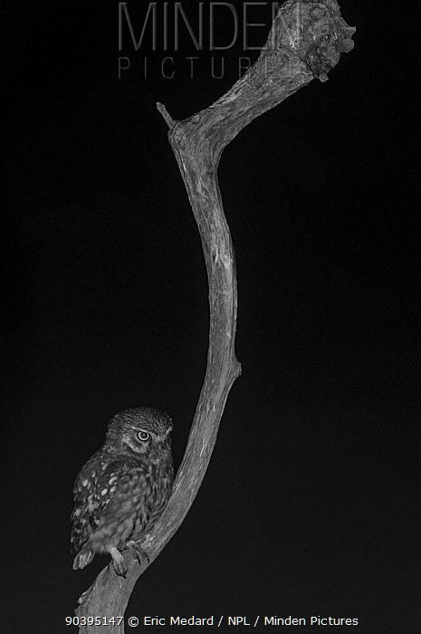 Little owl (Athene noctua) on branch in garden, taken at night with infra red remote camera trap, Mayenne, Pays de Loire, France  -  Eric Medard/ npl