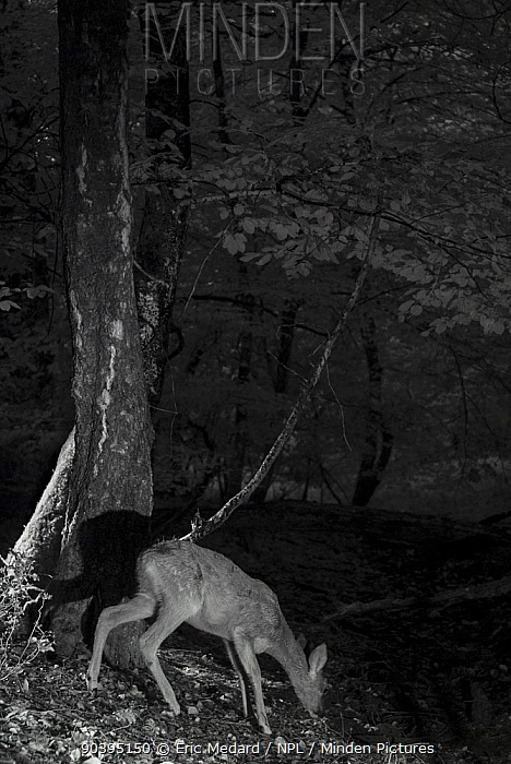 Roe deer (Capreolus capreolus) female, taken at night using infra-red, Mayenne, Pays de la Loire, France, September  -  Eric Medard/ npl