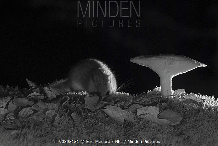 Forest dormouse (Dryomys nitedula) and mushroom at night, taken with infra red remote camera trap, Slovenia, October  -  Eric Medard/ npl