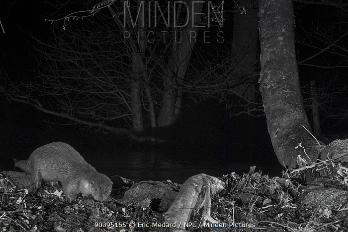 Otter (Lutra lutra) on river bank, taken at night with infra red remote camera trap, Mayenne, Pays de Loire, France, December  -  Eric Medard/ npl