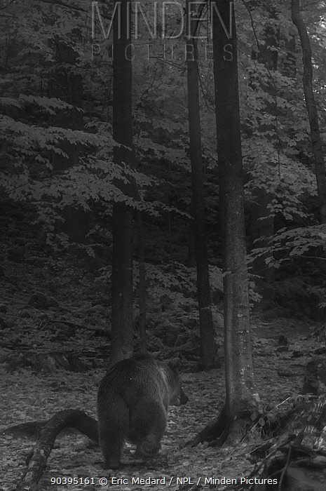 European brown bear (Ursus arctos arctos) walking through forest at night, taken with infra red remote camera trap, Slovenia, October  -  Eric Medard/ npl