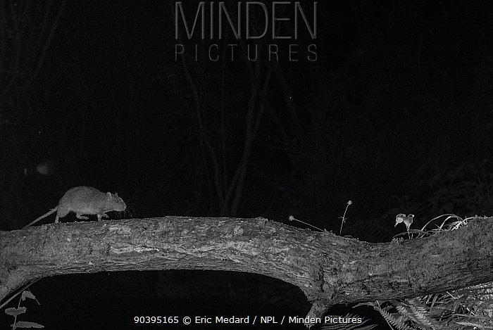Brown rat (Rattus norvegicus) walking along branch in garden at night, taken with infra red remote camera trap, Mayenne, Pays de Loire, France June  -  Eric Medard/ npl
