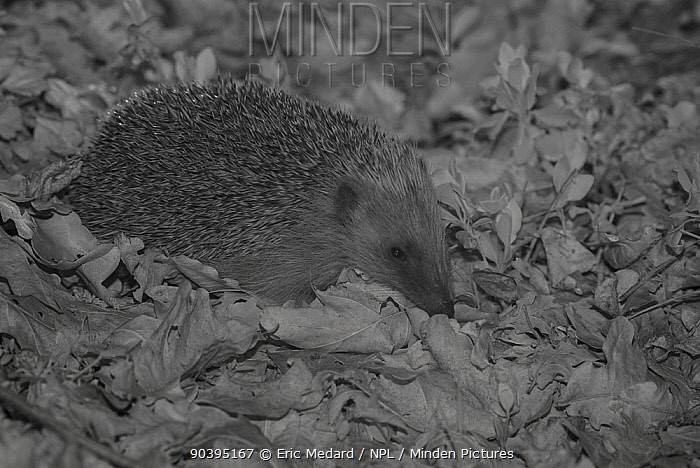 Hedgehog (Erinaceus europaeus) at night, taken with infra red remote camera trap, Mayenne, Pays de Loire, France, April  -  Eric Medard/ npl