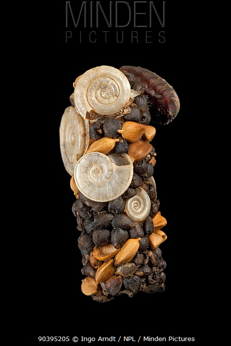 Caddisfly (Limnephilus sp) case built out of seeds and snail shells, Germany  -  Ingo Arndt/ npl