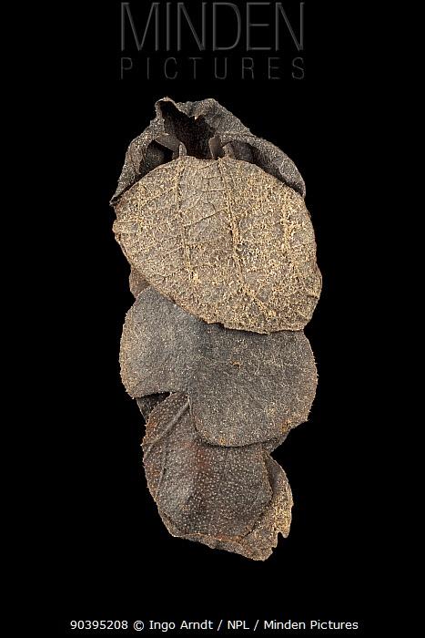 Caddisfly (Glyphotaelius pellucidus) case built out of leaves, Germany, November  -  Ingo Arndt/ npl