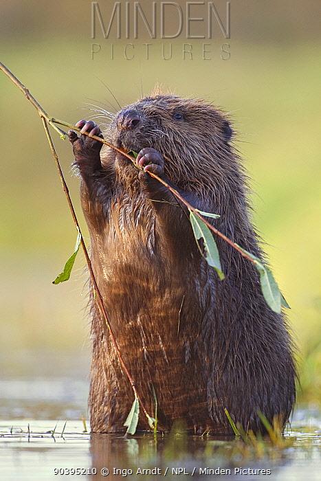 Eurasian beaver (Castor fiber albicus) feeding on willow, Germany, November  -  Ingo Arndt/ npl