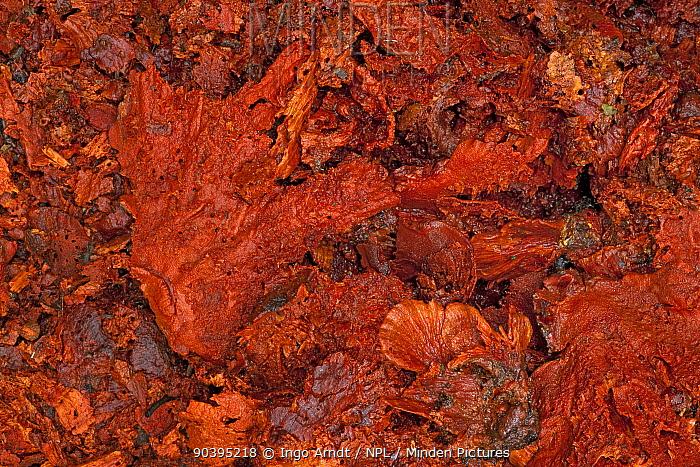 Vogelkop bowerbird (Amblyornis inornatus) decoration material (fungus) collected in order to attract females to his bower, Arfak Mountains, Irian Jaya, New Guinea, Indonesia  -  Ingo Arndt/ npl