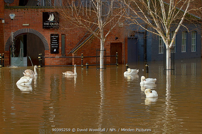 Mute Swans (Cygnus olor) swimming in Worcester city centre, during February 2014 floods, Worcester, England, UK, 10th February 2014  -  David Woodfall/ npl