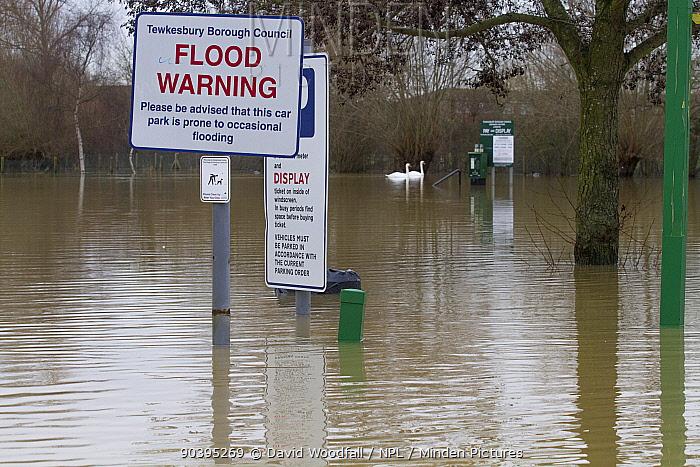 Flooded car park during January 2014 floods with swimming Mute swans (Cygnus olor) Tewkesbury, England, UK, 8th January 2014  -  David Woodfall/ npl