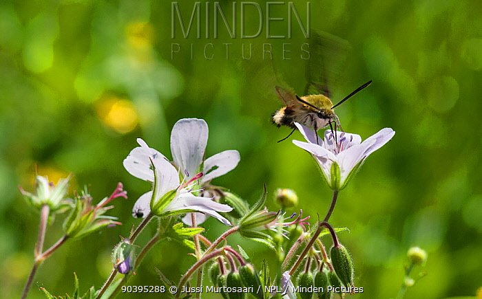 Broad-bordered bee hawk-moth (Hemaris fuciformis) feeding on nectar in flight, South Karelia, southern Finland, June  -  Unknown photographer