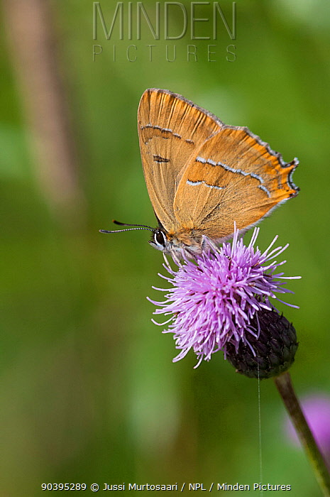 Brown Hairstreak butterfly (Thecla betulae) male feeding on Plume thistle flower, southwest Finland, August  -  Unknown photographer